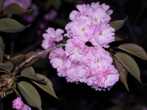 八重桜2010-01.jpg