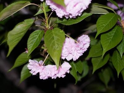八重桜2010-02.jpg
