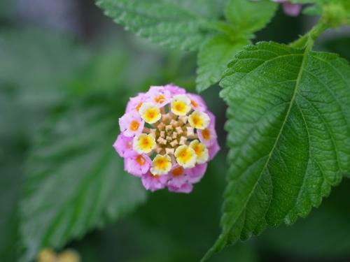 紫陽花2010_06_23-01.jpg