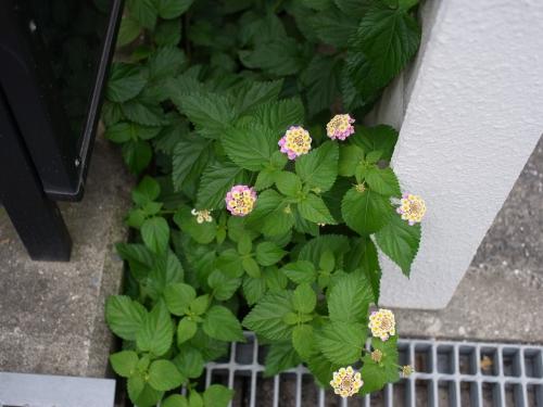 紫陽花2010_06_23-03.jpg
