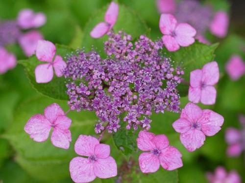 紫陽花2010_06_23-07(F2.5).jpg