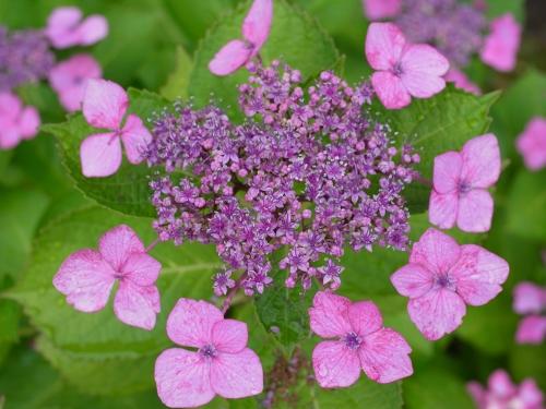 紫陽花2010_06_23-08(F4.9).jpg