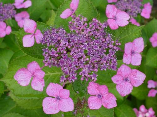 紫陽花2010_06_23-09(F9.8).jpg
