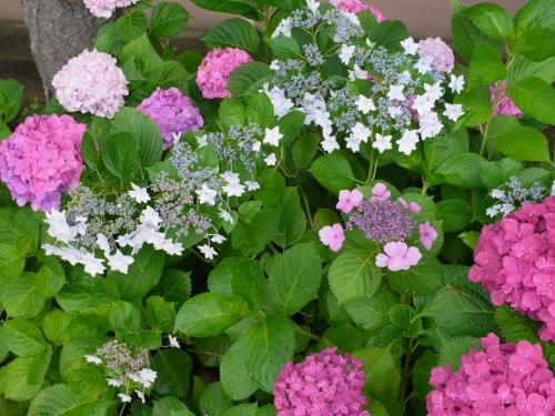 紫陽花2010_06_23-10.jpg
