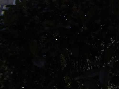 金木犀2010-01.jpg