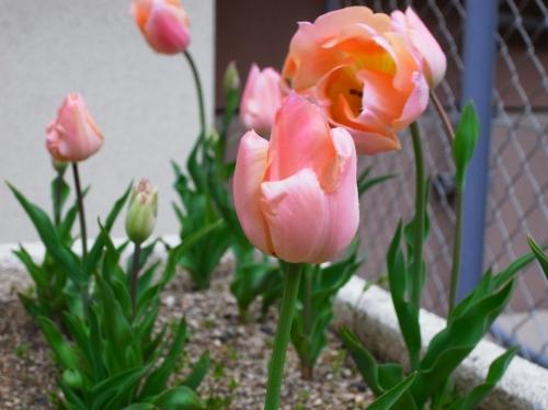 Tulipa2010-01.jpg