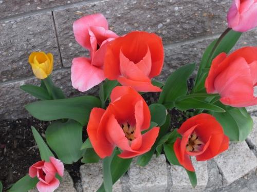 Tulipa2010-05.jpg